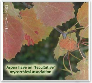 Aspen trees have a facultative mycorrhizal association