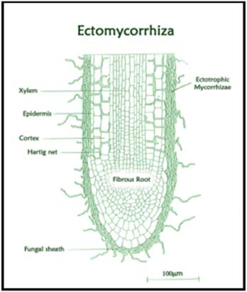 Ectomycorrhiza - Mycorrhzal inoculation with tree woodland and native hedge planting